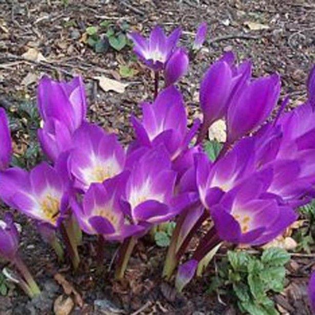 colchique speciosum atrorubens vivace vigoureuse qui fleurit en octobre ces fleurs mesurent de. Black Bedroom Furniture Sets. Home Design Ideas