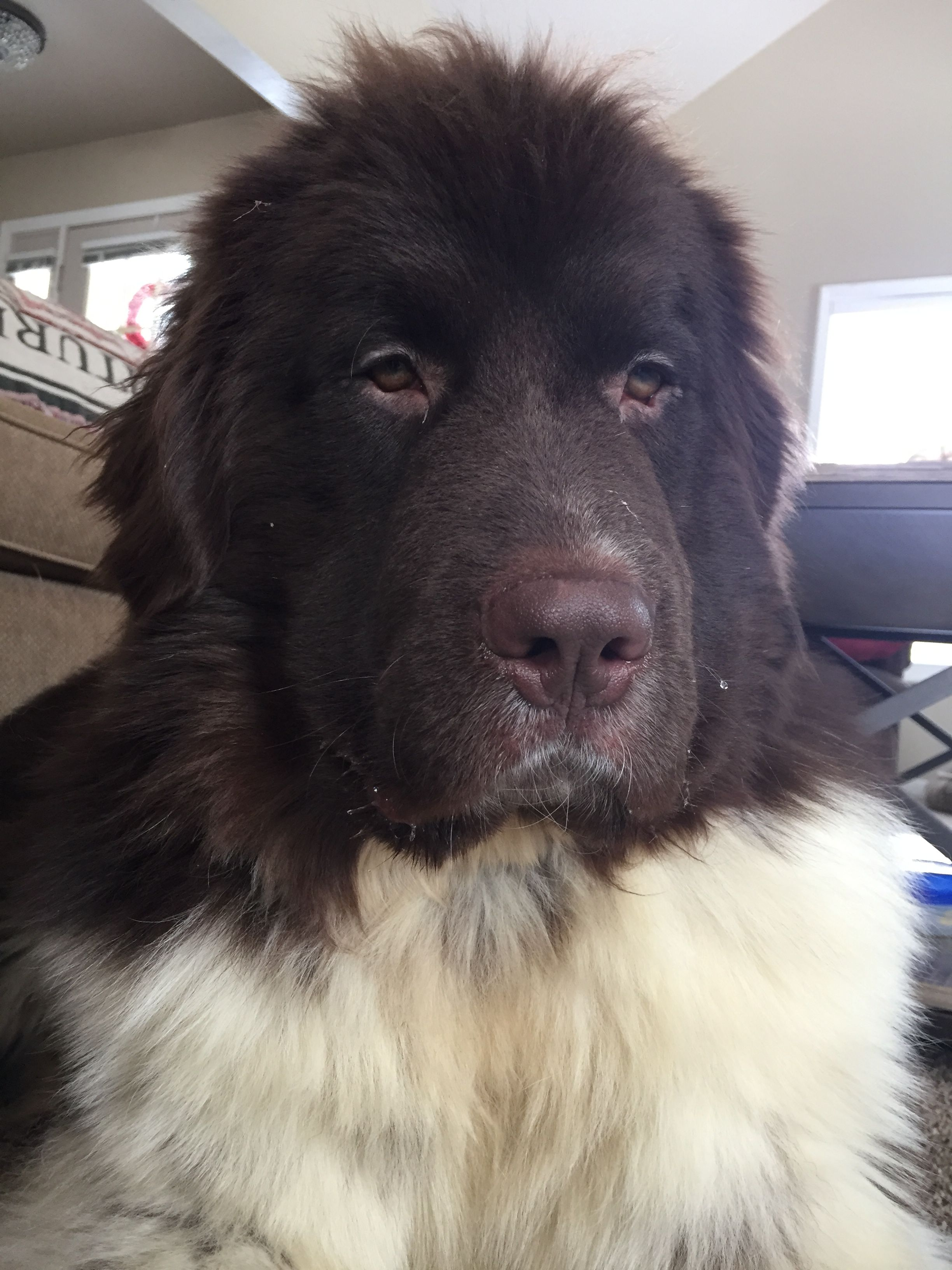 My Brown And White Newfoundland Sully Newfoundland Dog Dog