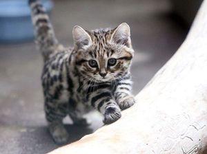 世界最小種の猫 クロアシネコ が可愛い Naver まとめ Small Wild Cats Black Footed Cat Cats