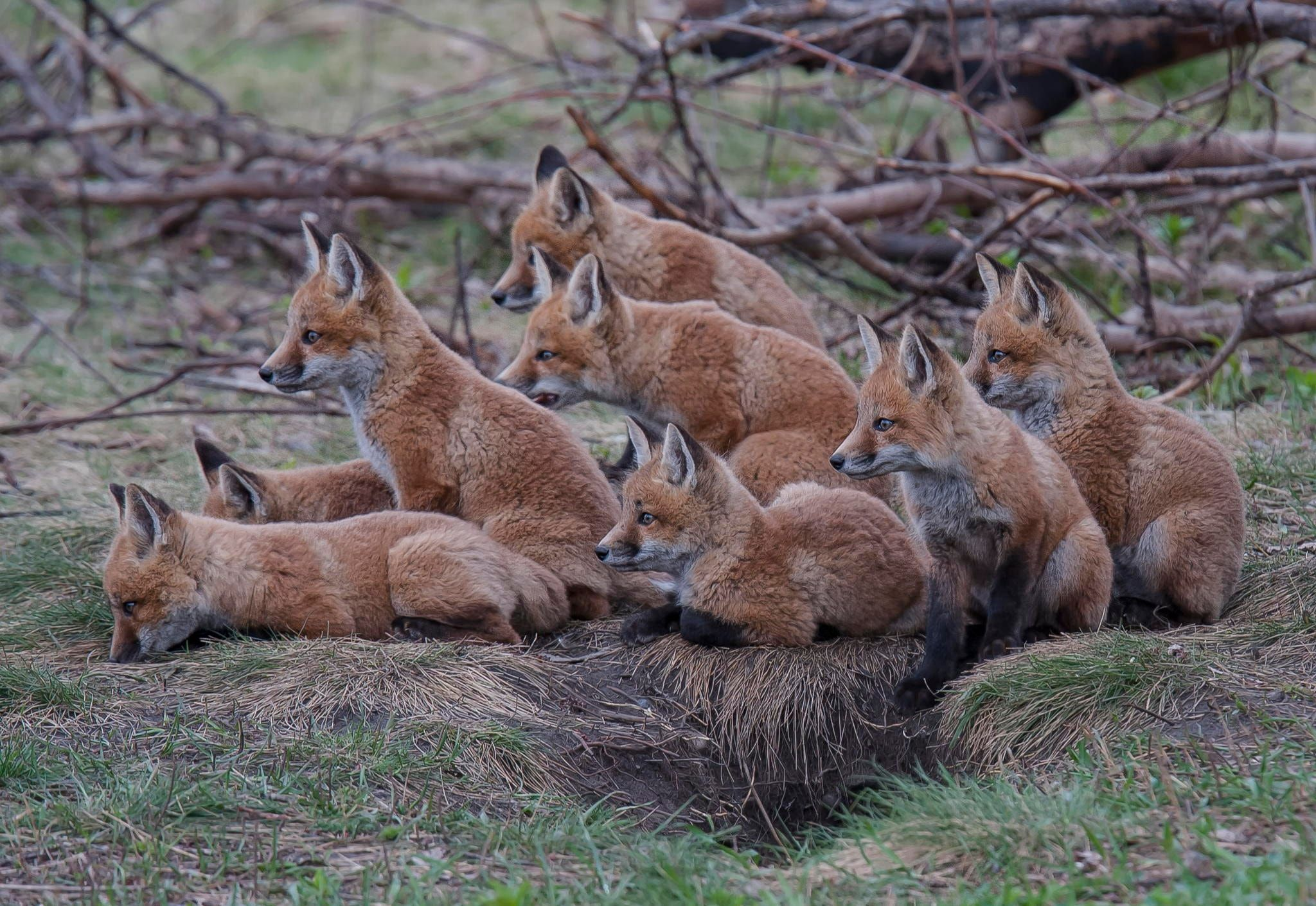 the litter of foxes - in Barrie, Ontario, Canada there was a litter of red fox that consisted of 8 kits...