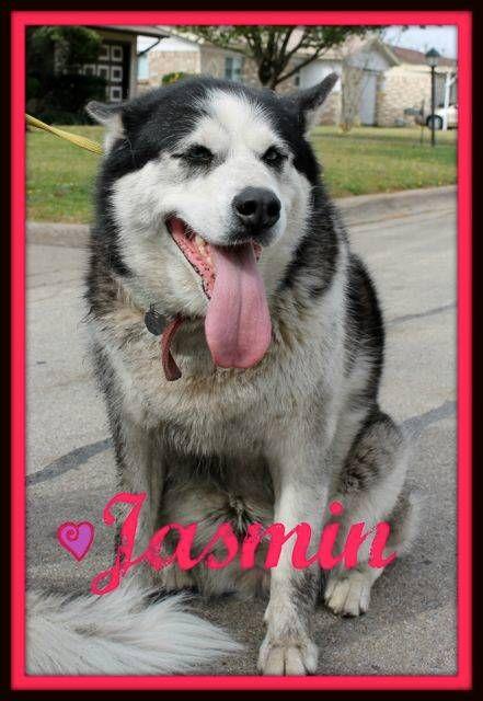In MEMPHIS TENN HUSKY PEOPLE URGENT BEAUTIFUL DOG NEEDS