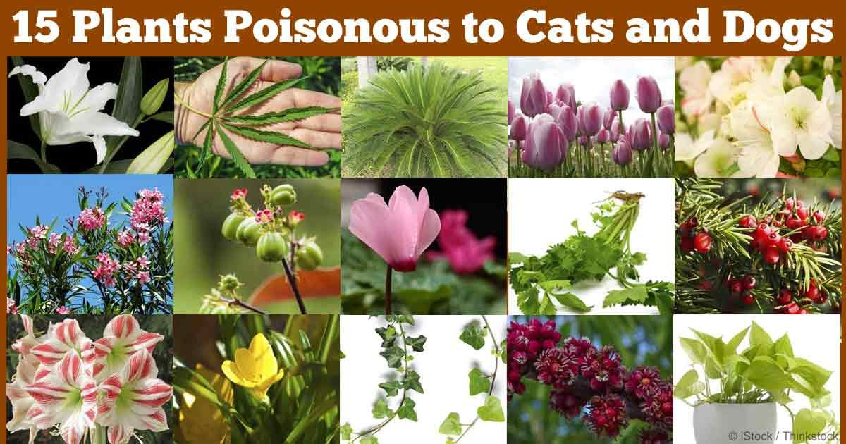 15 Poisonous Plants Your Pets Should Avoid Plants Poisonous Plants Common House Plants