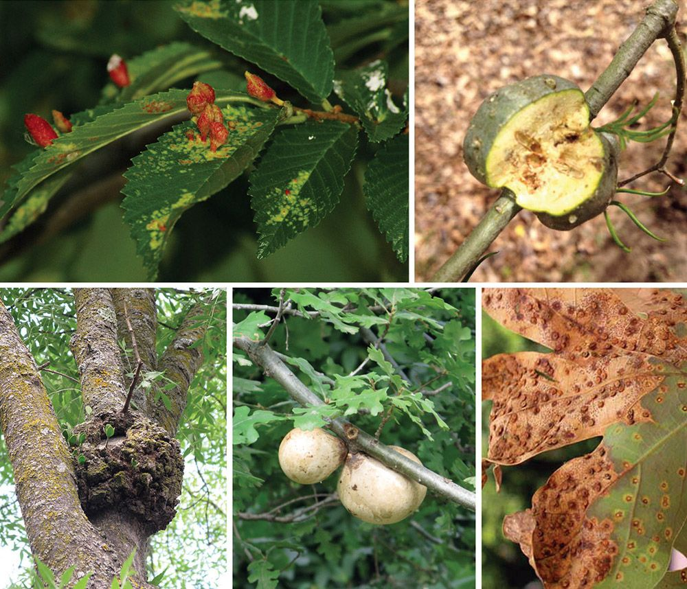 Galls are abnormal and unusual plant growths that come in a variety of shapes and sizes.