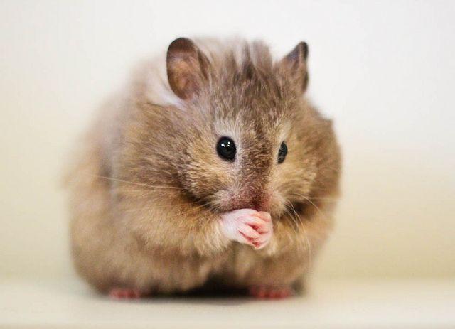 Tholl Sable Roan Lh Syrian Hamster Hamsters Hamster Sirio