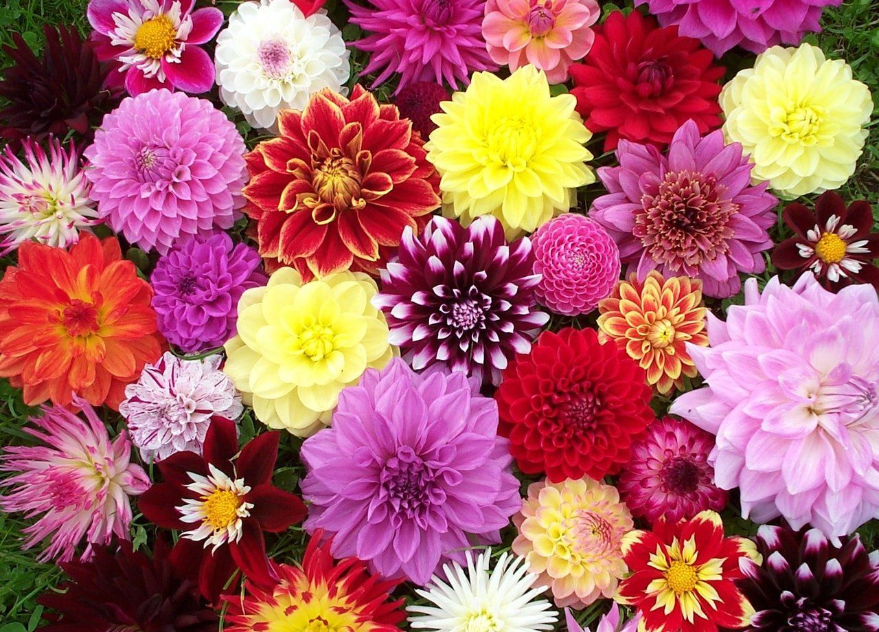 Dahlias 21 Most Sun Kissed Flowers In Season For July Wedding Everafterguide