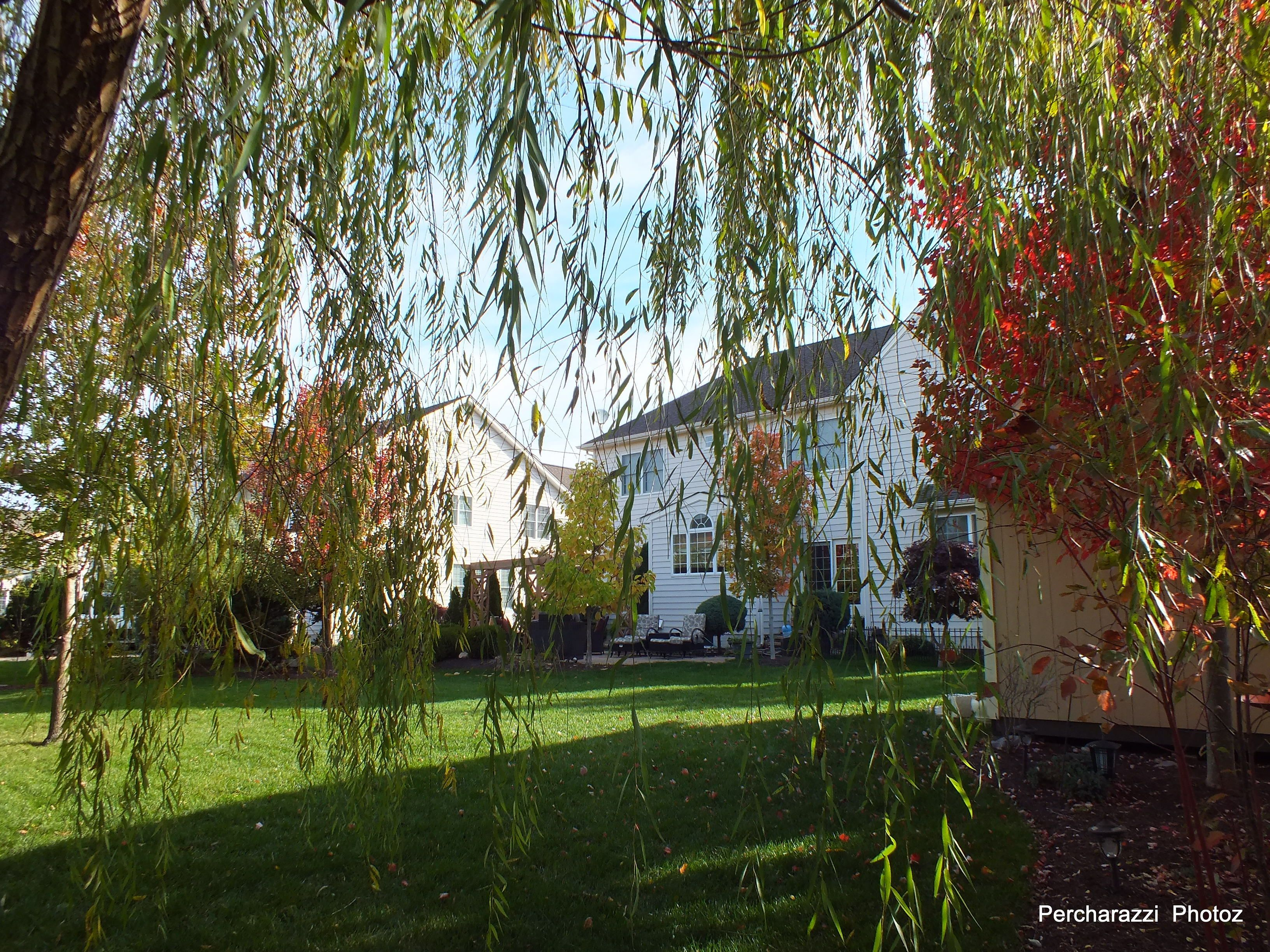 Willow Tree in back yard