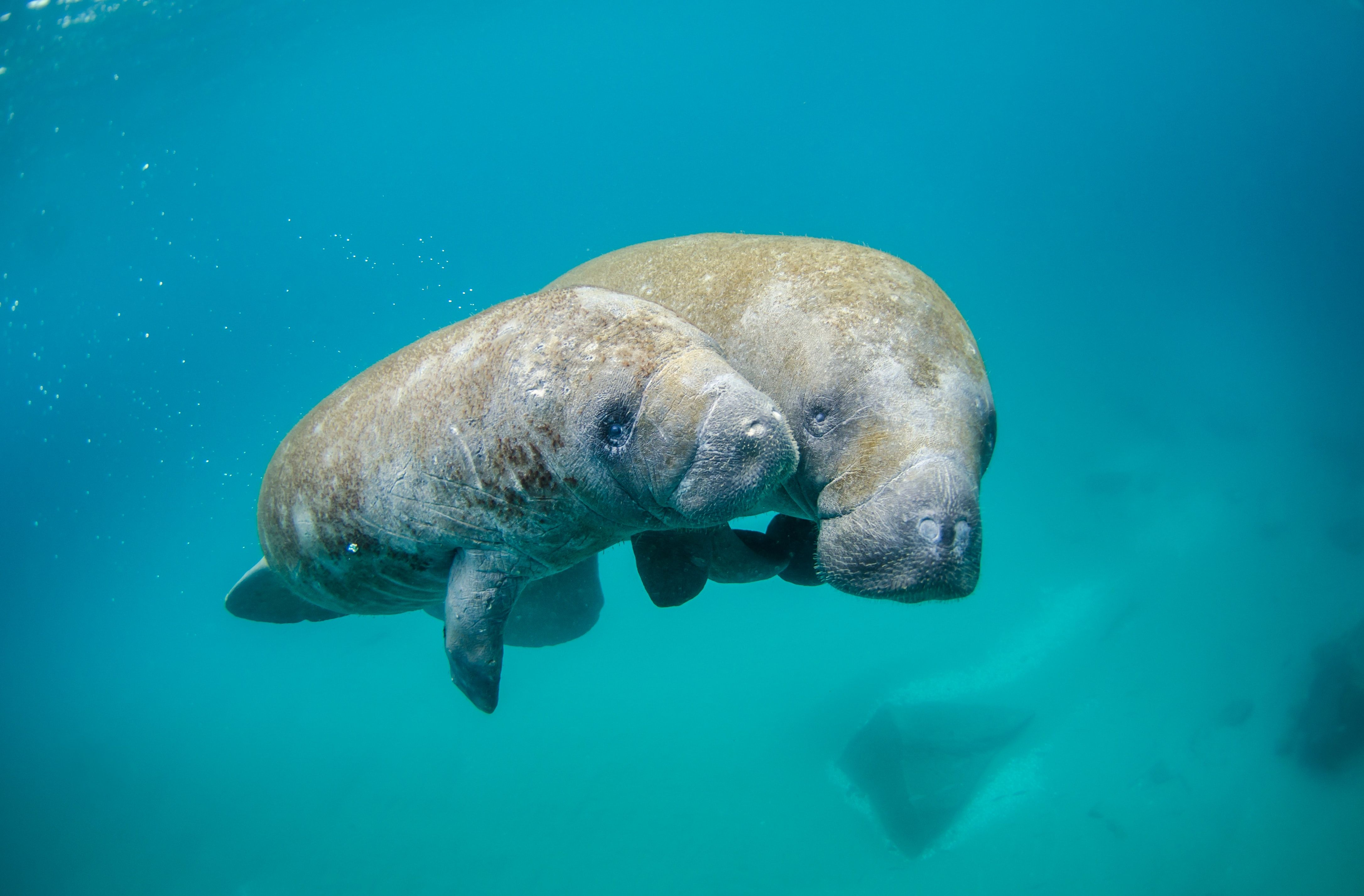 two manatees at Blue Spring State Park
