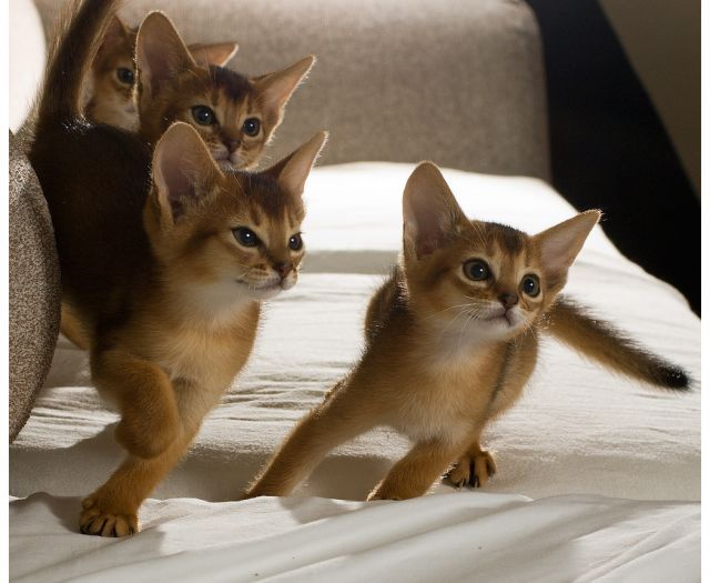 The cutest Abyssinian kittens EVER!