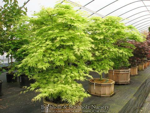 Upright Green Japanese Maple