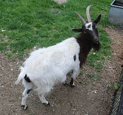"""Bagot Goat, The Bagot Goat /ˈbæɡət/ is a breed of goat which for several hundred years has lived semi-wild at Blithfield Hall, Staffordshire, England. It is a small goat, with a black head and neck and the remainder of the body white. In 2010 it was considered """"critically endangered"""""""