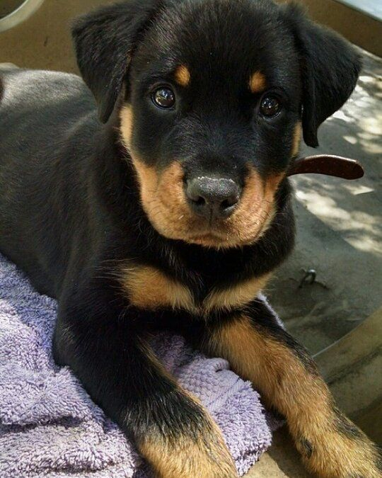 Did You Just Say Cookie Rottweiler Puppies Rottweiler Love