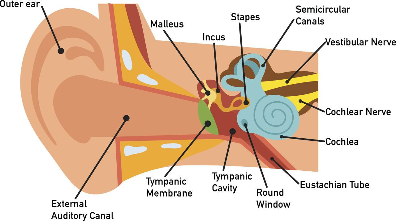 Labeled Diagram Of The Ear New Human Ear Diagram In 2020 Ear Diagram Human Ear Diagram Inner Ear Diagram