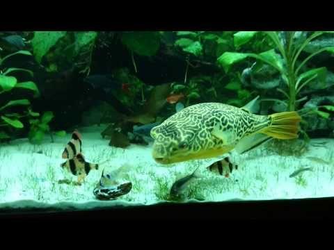 Pufferfish Giant (Tetraodon MBU) vs Mussel - YouTube