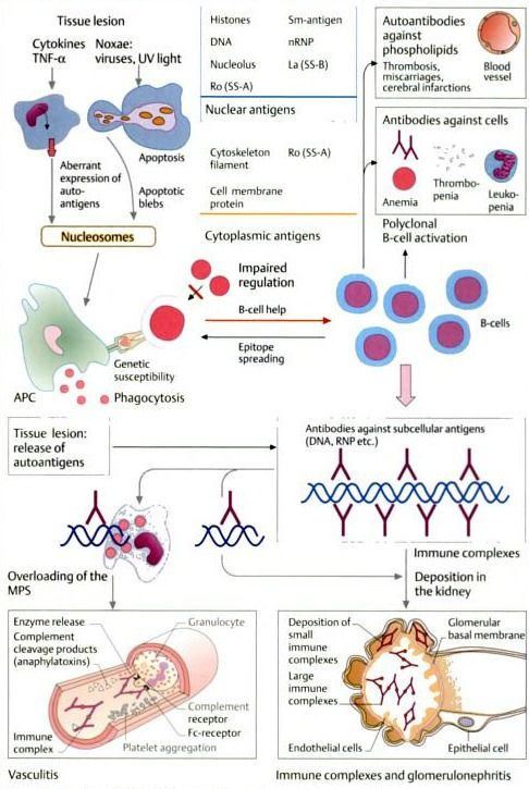 From Color Atlas Of Immunology By Gerd Burmester Antonio