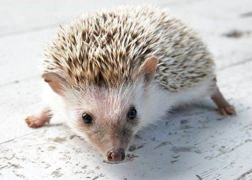 10 Reasons Why Hedgehogs Make The Best College Pets Unusual Animals Little Live Pets Pets