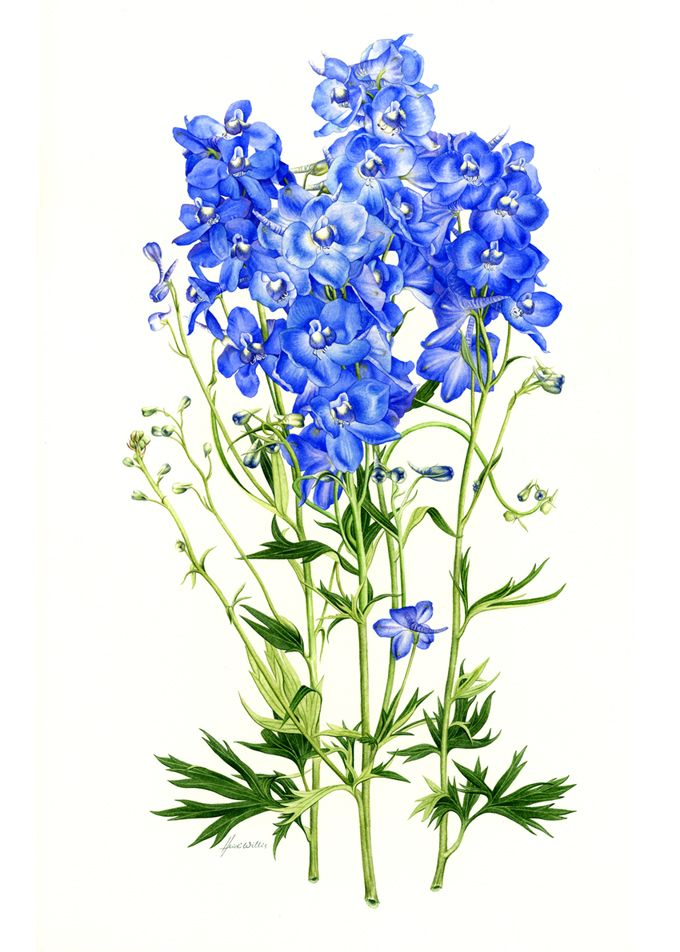 Delphiniums - Heidi Willis, watercolor