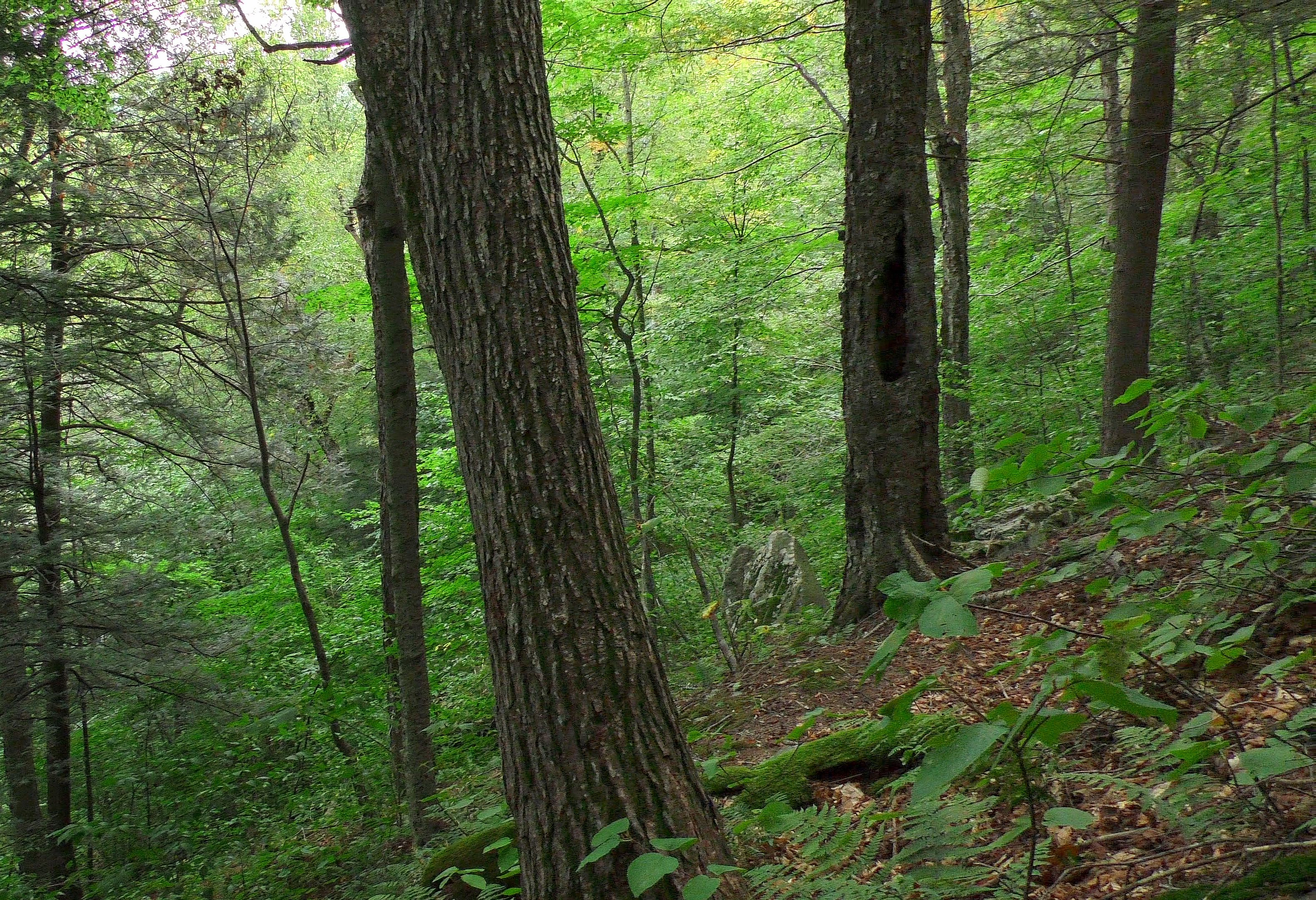 Western Mass mountainside old growth forest. Ray Asselin, New England Forests.