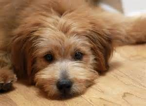 Poogle Beagle Poodle Mix With Images Beagle Poodle Mix