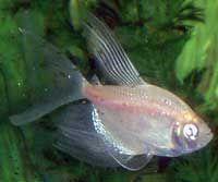 White Skirt Tetra Tetra Fish Fish Pet Tetra