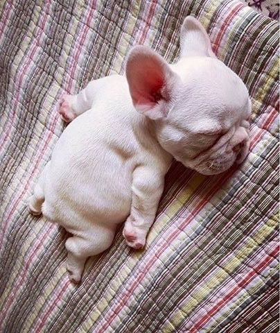Sleeping French Bulldog Puppy 3 French Bulldogs Puppies