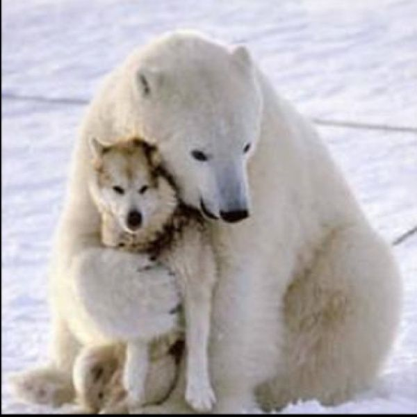 THESE TWO ARE EATHER VERY CLOSE FRIENDS OR THE POLARBEAR ACCEDENTALY THOUGHT THAT THE WOLF WAS HER BABY