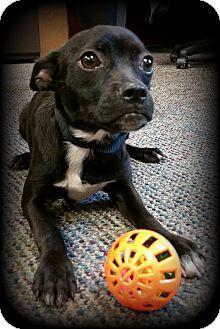 Boston Terrier Chihuahua Mix Dog For Adoption In Savannah Georgia