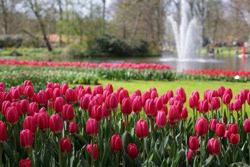 Beautiful Tulips In Holland 7 Million Flowers In This Garden Million Flowers Flower Garden Drawing Beautiful Flowers