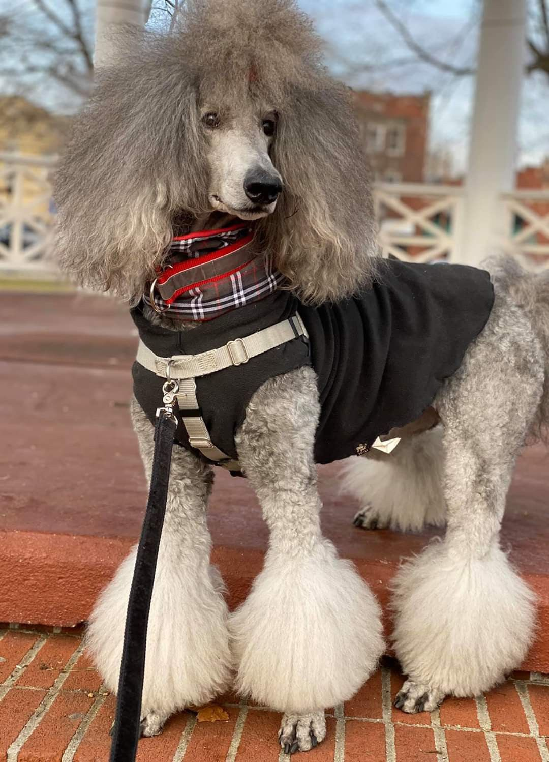 Pin By Laura Webster On Marcello S Corner In 2020 Poodle Dog