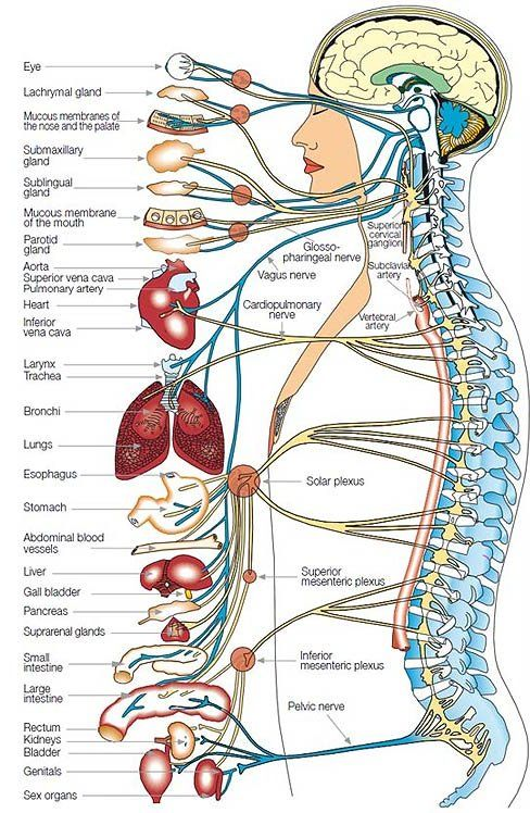 Image Result For Spine Anatomy Health Pinterest Anatomy