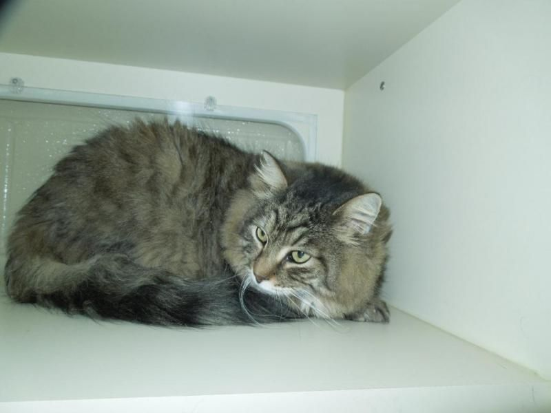 Meet Mousey, a Petfinder adoptable Domestic Long Hairgray