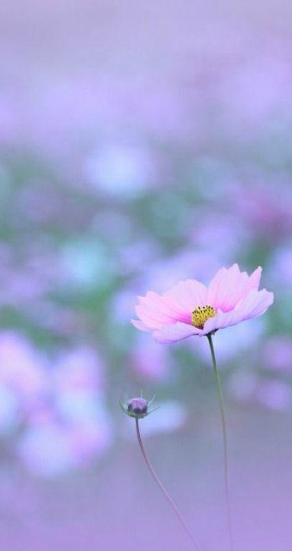 Pink cosmo flower on lavender background caleidoscope of colors pink cosmo flower on lavender background mightylinksfo