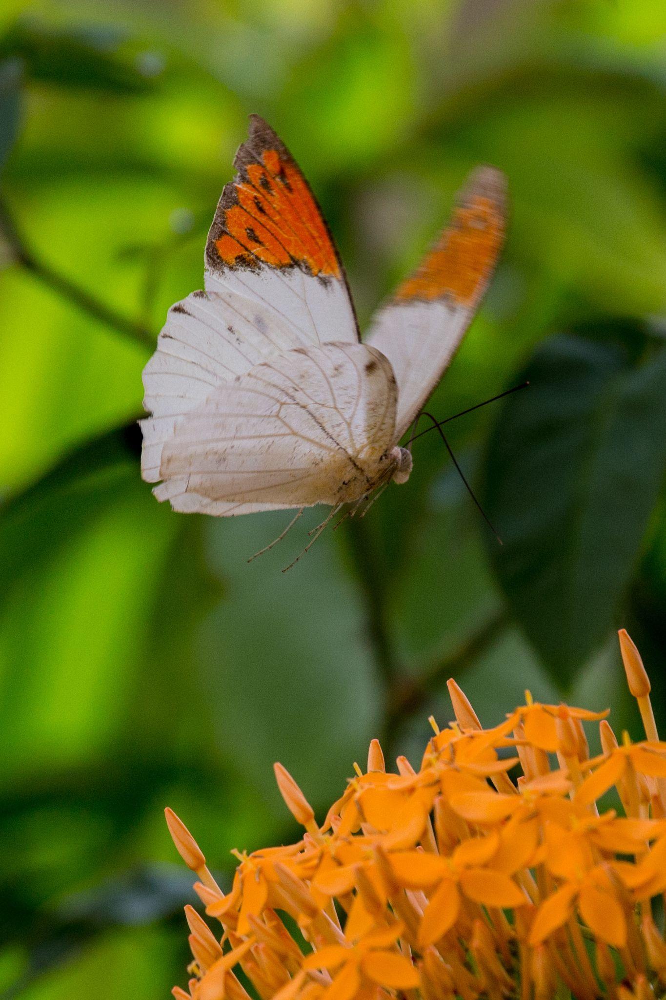 Great Orange Tip Butterfly in flight! Approaching to land on loveliness. ...