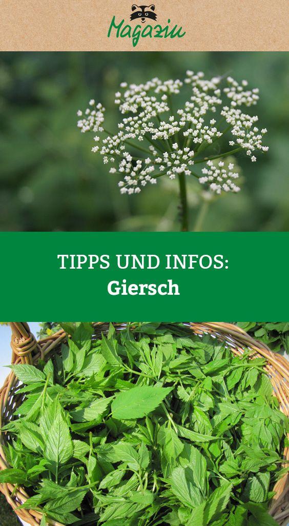 75878aa0efb769cde12c661f03722beb - Giersch Rezepte
