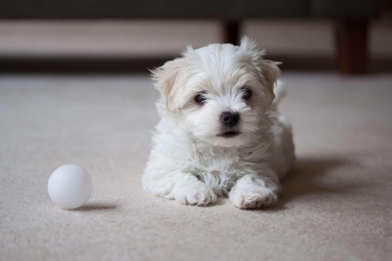 2 Maltese Terrier Provided By Best Life Maltese Maltese
