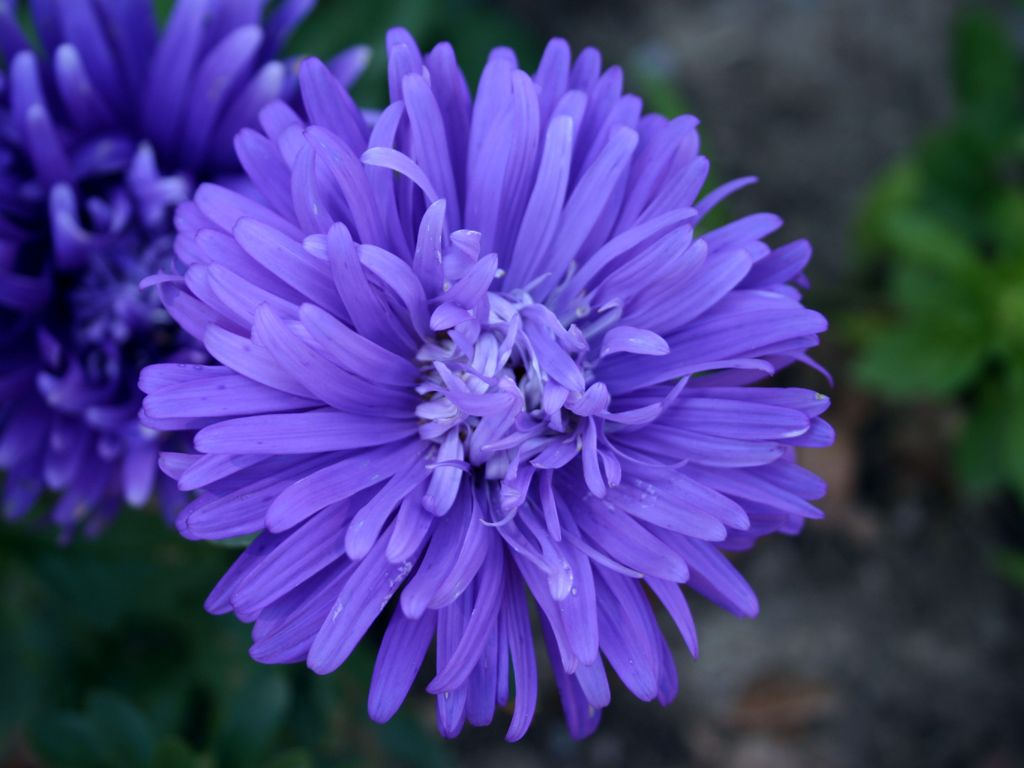 Aster Flower Pictures Yahoo Search Results Aster Flower Flowers Aster Flower Tattoos