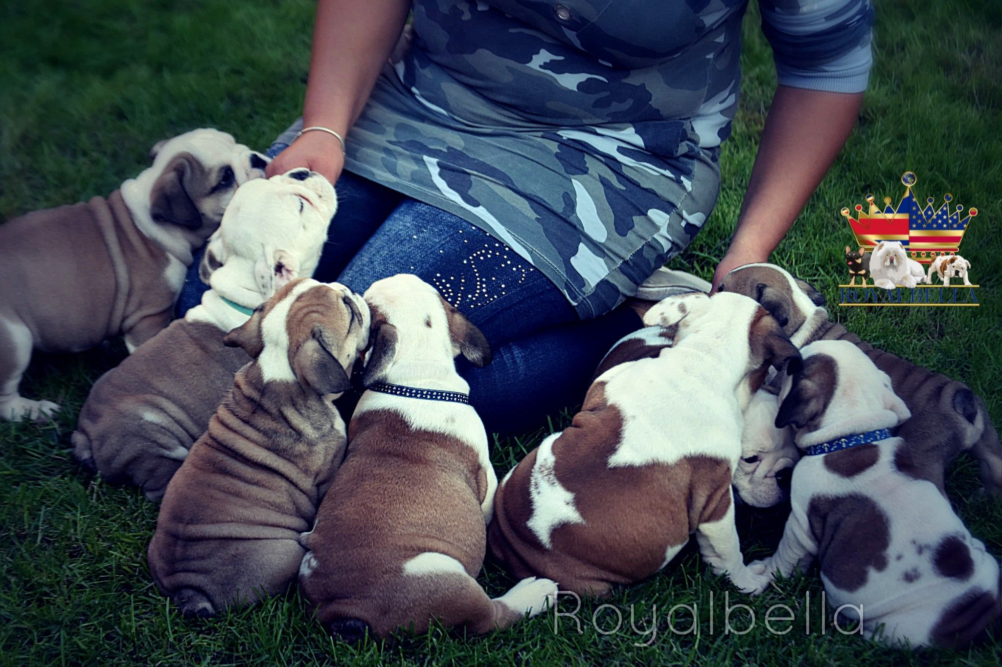 A Top World S Quality Healthy Bulldog Puppies