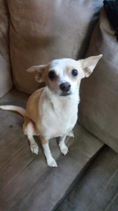 Petango Com Meet Tiffany A 2 Years Chihuahua Short Coat