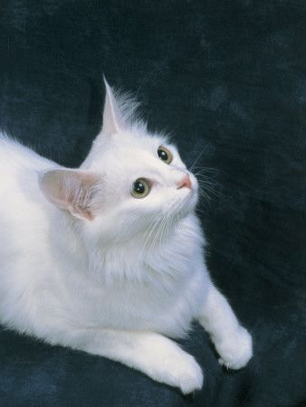 dd6a907ade Close-Up of a Turkish Angora Cat Looking UpBy D  Robotti
