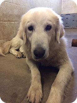 5/2/17 Darien, CT - Great Pyrenees/Labrador Retriever Mix. Meet Carina, a dog for adoption. http://www.adoptapet.com/pet/18053334-darien-connecticut-great-pyrenees-mix