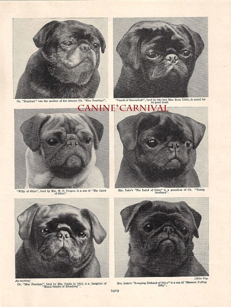 133a851bed4 Six Early Champion BLACK Pug DOGS ONE FAWN 1934 Vintage PHOTO Art Print