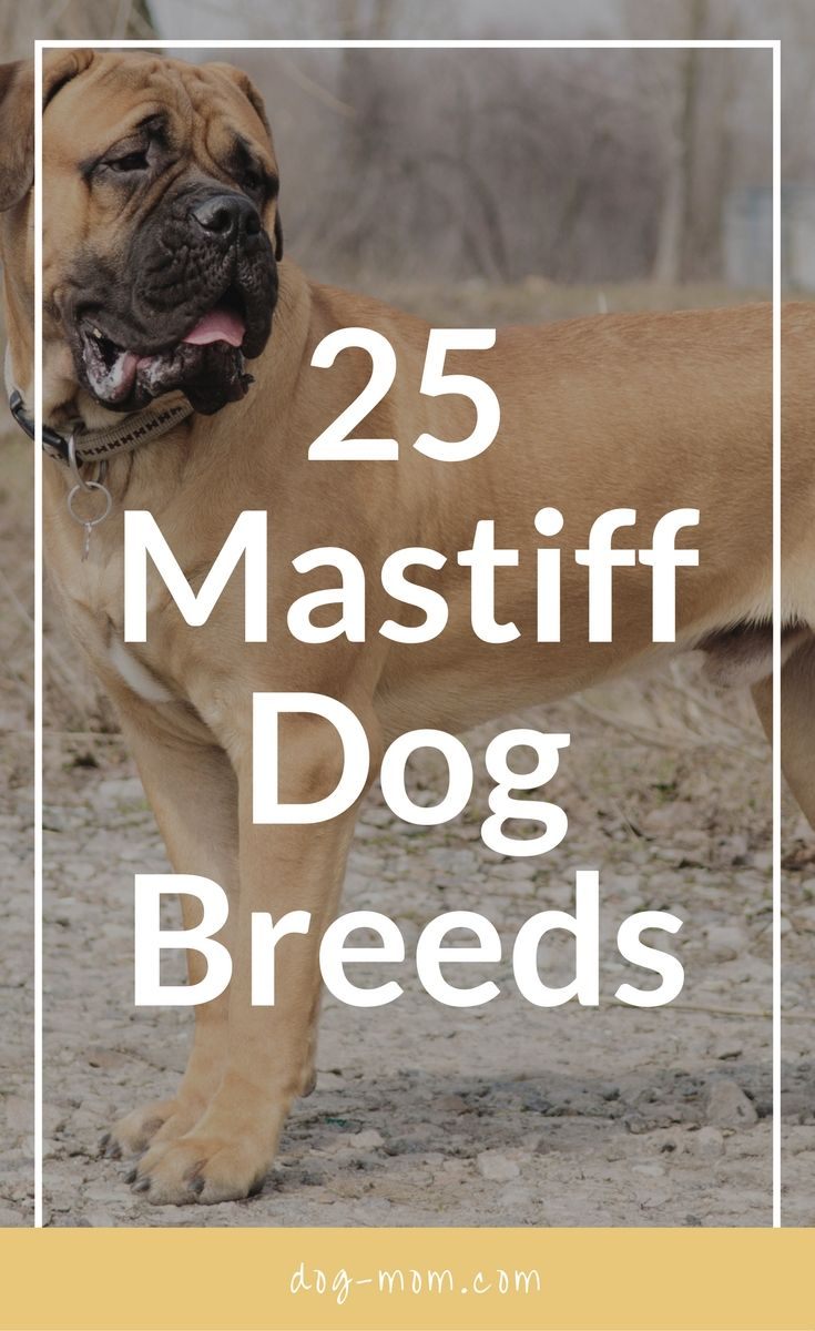 Mastiff dog breed information pictures characteristics amp facts - Did You Know That There Are Over 20 Mastiff Breeds Or That A Pug Is