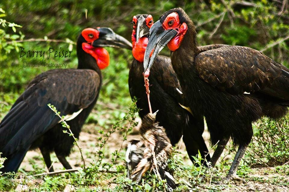 Barry Peiser witnessed a group of Southern ground hornbills killing and devouring a Dikkop in Skukuza - Barry Peiser Wildlife Photography....