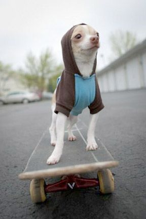 They see me rollin' | Cute dogs, Chihuahua dogs, Baby dogs