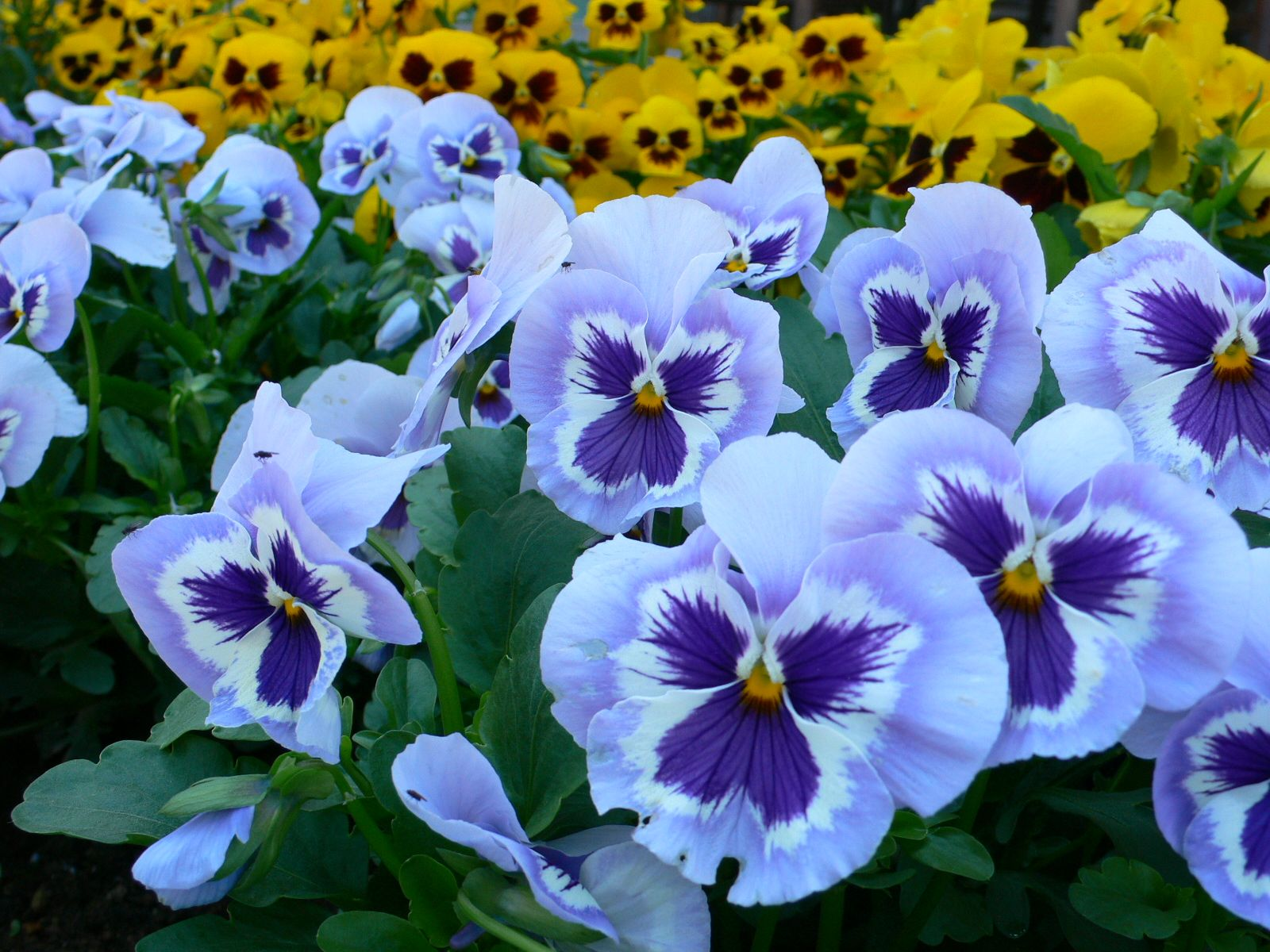 Top 10 Most Popular Flowers To Plant In Your Garden Pansies