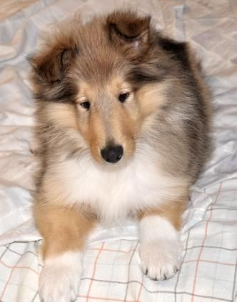 For Sure Having One Of These Shetland Sheepdog Collie Dog Dog