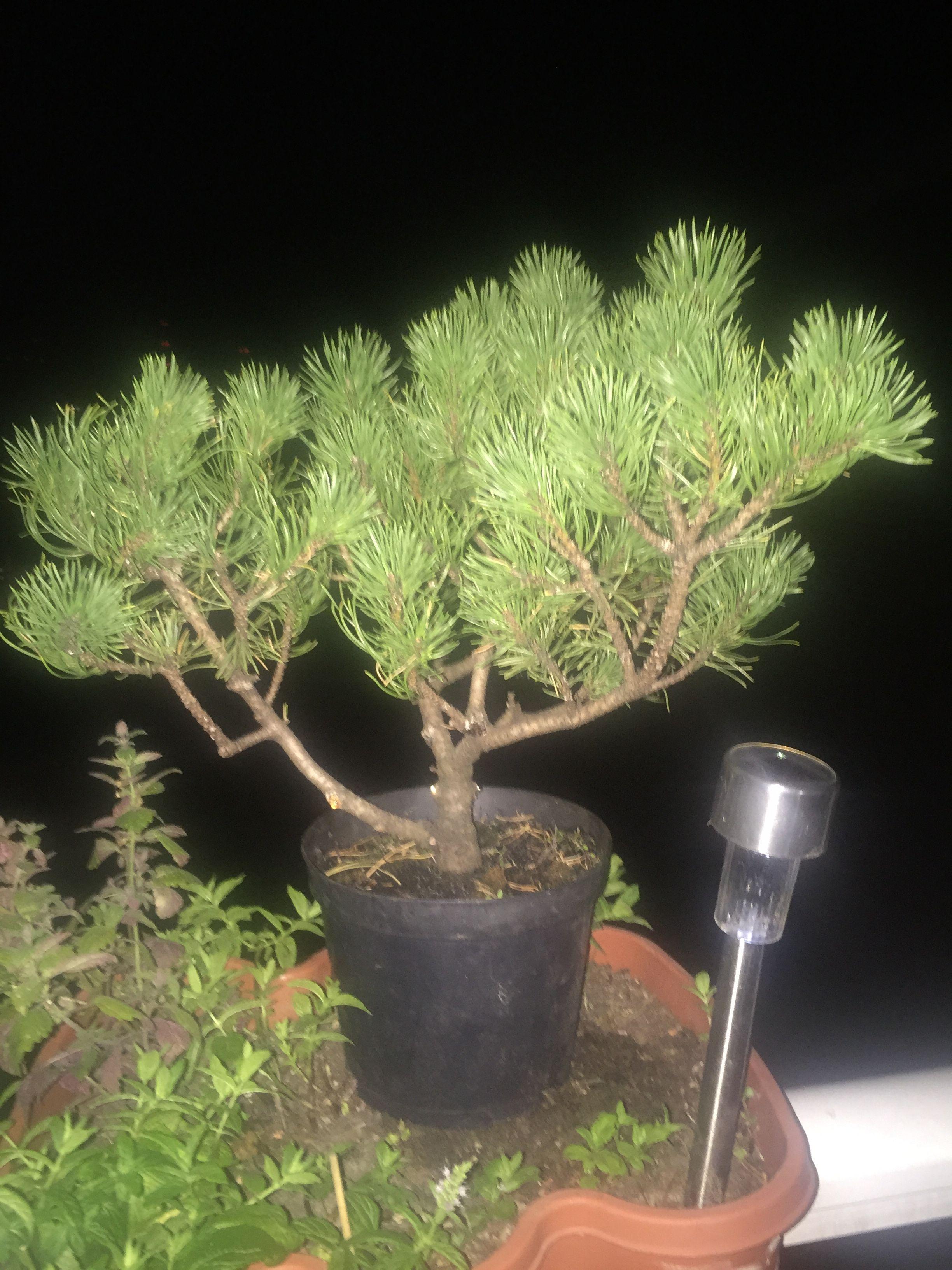 Train for bonsai winter gold pine