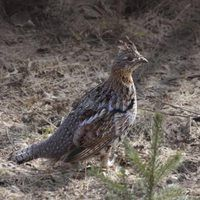 Before Attempting To Raise Grouse Domestically It S Important To Check What Types Of Grouse You Can Raise Without A Grouse Raising Farm Animals Grouse Hunting