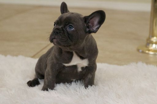 French Bulldog Puppy For Sale In Las Vegas Nv Adn 26709 On