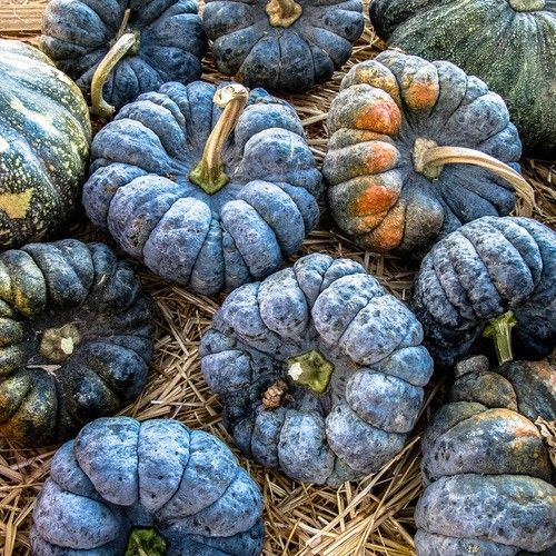 blue_pumpkins-2352ce8430-crop-4x5.jpg.th.jpg (500×500)