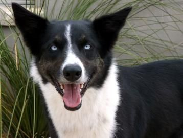 Adopt Reyna A Lovely 1 5y O Border Collie Siberian Husky At The